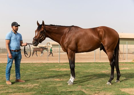 Saudi Cup Winner 2020 Maximum Security the morning after<br> with Antonio Hernandez