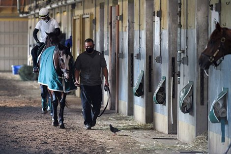 Belmont Stakes Morning line favorite Tiz the Law is walks in the barn after his morning exercise Friday June 19, 2020 the day before he will appear in the 152nd running of The Belmont Stakes on Saturday June 20th at Belmont Park in Elmont, N.Y.