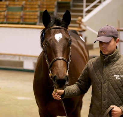 Lot 739 Kingman (GB) / Midnight Thoughts (USA) BF (GB) - Appletree Stud - Blandford Bloodstock - $ 300,000 - Tattersalls October Yearling Sale Book 2 - October 11, 2021